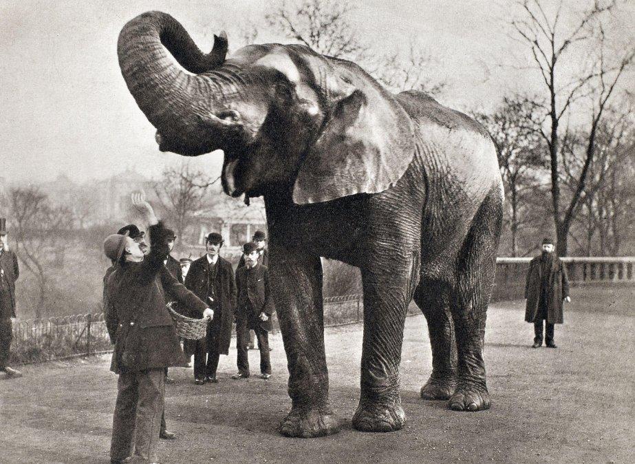Jumbo, el elefante más grande del que se tenga memoria