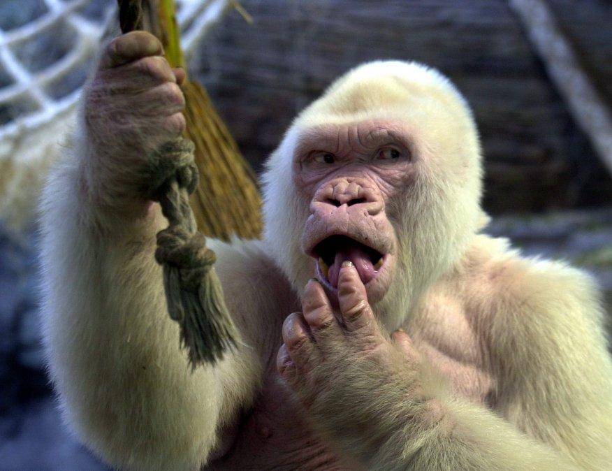 Copito de Nieve, el gorila albino