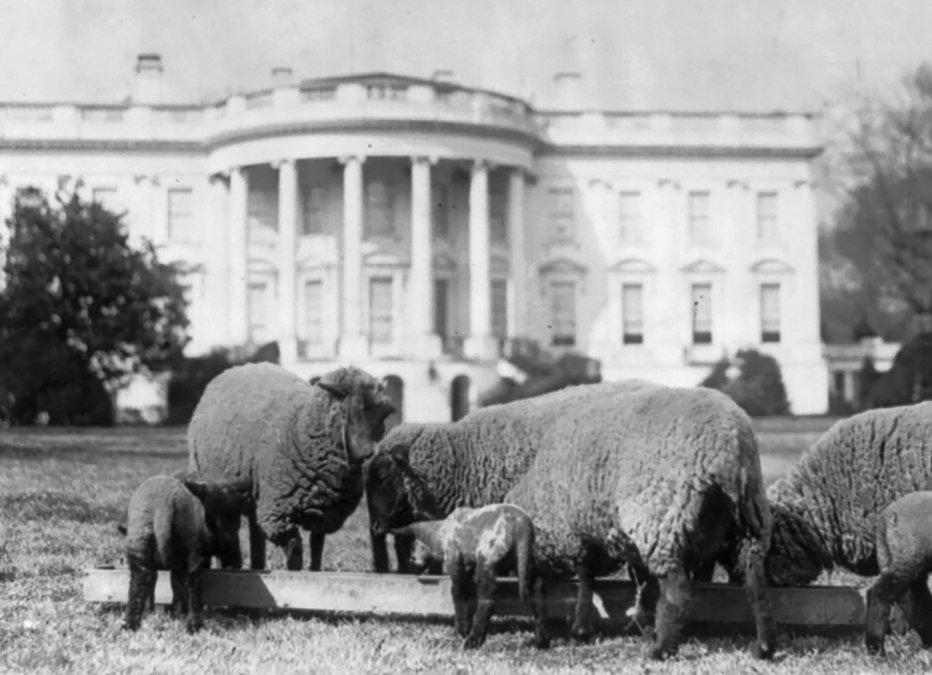 Ovejas pastando en el jardín sur de la Casa Blanca (c. 1918).